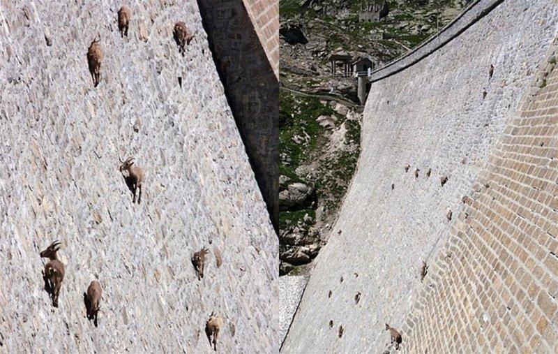 Рогатых скалолазов привлекла сюда соль, которую они слизывают с камней горные козлы, животные, удивительное, чудо. скалы