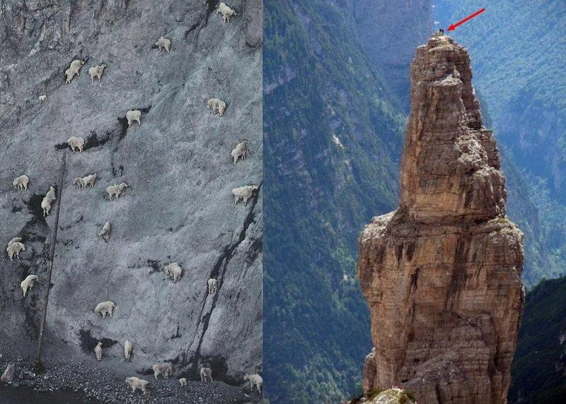 Конечно, на совсем гладкой скале они не устоят, но они могут  спокойно лазать и даже бегать по совсем крохотным  выступам горные козлы, животные, удивительное, чудо. скалы