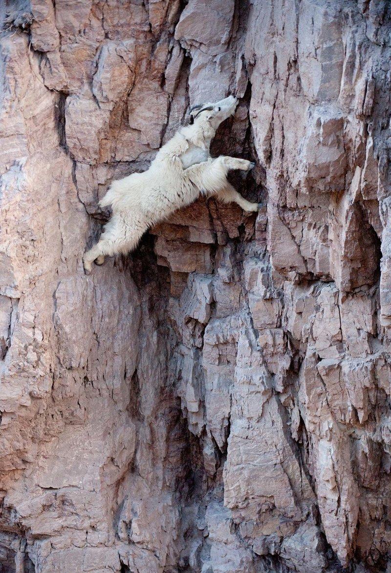 Взбираясь по крутым склонам, они не боятся оползней, которые может спровоцировать даже одно неосторожное движение. Услышав, что камни под ногами начинают шевелиться, козлы лишь немного замедляют бег и продолжают свой путь горные козлы, животные, удивительное, чудо. скалы