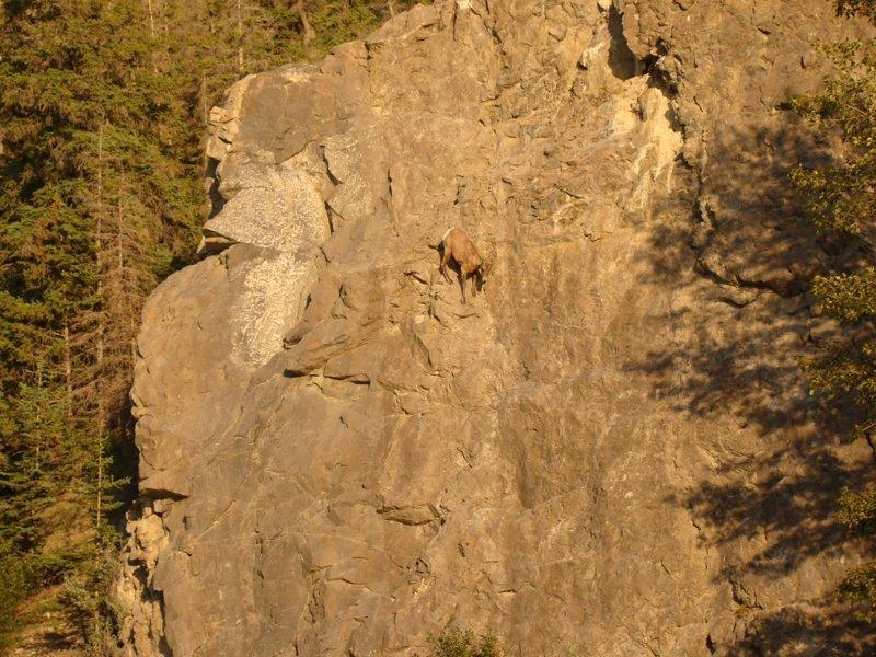 Обитают в горах на высоте 2500 – 5000 м над уровнем моря горные козлы, животные, удивительное, чудо. скалы
