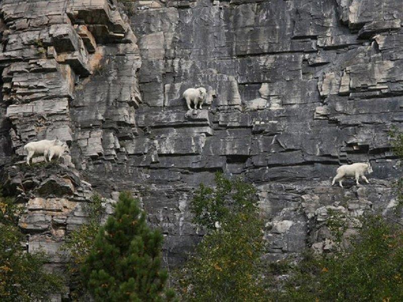 Известно 8 видов горных коз, они проживают в горах Евразии и Северной Африки, Северной Америки. Все они очень сильные и ловкие звери горные козлы, животные, удивительное, чудо. скалы