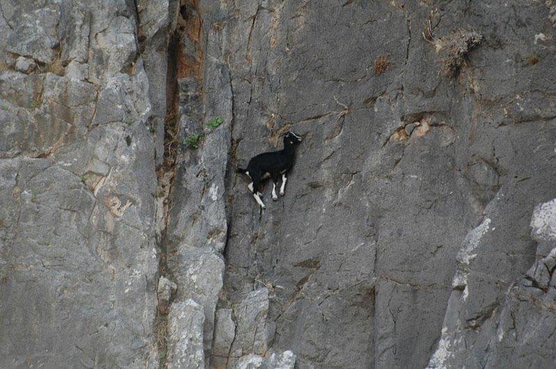 Важно и их исключительное чувство равновесия, точная координация движений и острое зрение, позволяющее видеть неровности стенки горные козлы, животные, удивительное, чудо. скалы