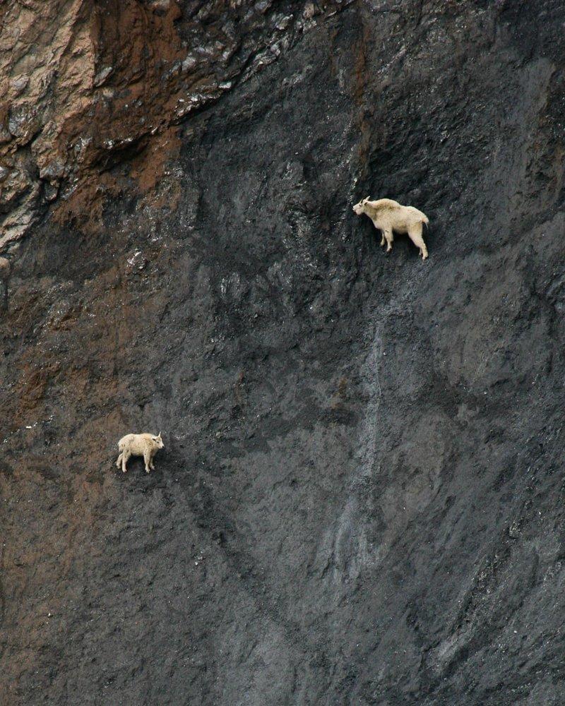 Если камень, на который наступил козел, слишком узкий, животное тут же отталкивается и прыгает дальше. Но этим способности козлов не ограничиваются горные козлы, животные, удивительное, чудо. скалы