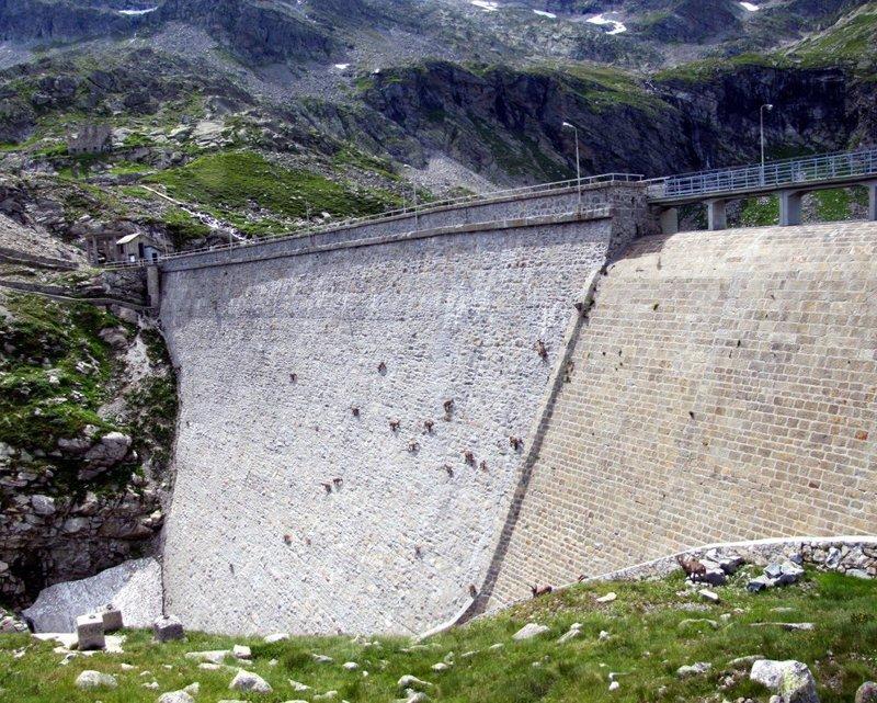 На 50-метровой почти вертикальной плотине Cingino в итальянских Альпах горные козлы, животные, удивительное, чудо. скалы
