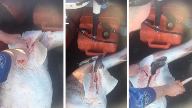 Рыбак сделал кесарево сечение акуле и спас 98 детенышей акула, детеныши, добро, животные, кесарево сечение, спасение
