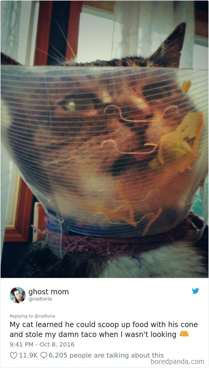"""9. """"Мой кот понял, что может загребать еду этим защитным воротником и стащил мой тако, пока я не видела"""" коты, коты - криминалы, кошаки, кошачести, кошки, приколы, проказы, хулиганы"""