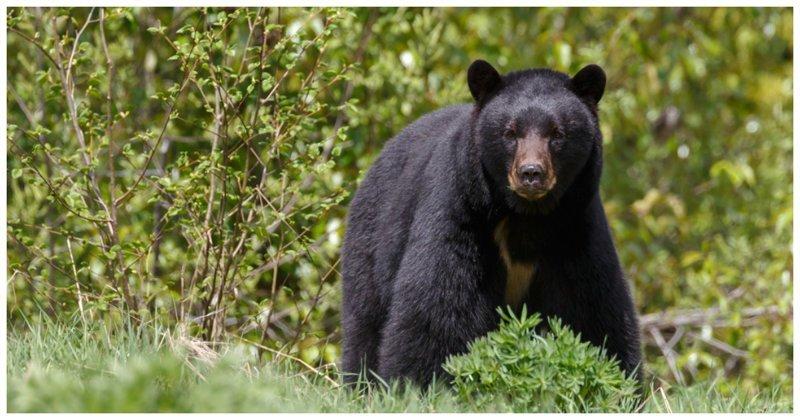 Дикий медведь порезвился на детском батуте - видео батут, видео, детская площадка, животные, медведь