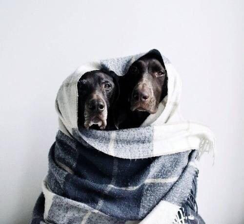Выживание нереально! или Потрясающая история упрямого курцхаара, которого спасла любовь история, собаки, спасение