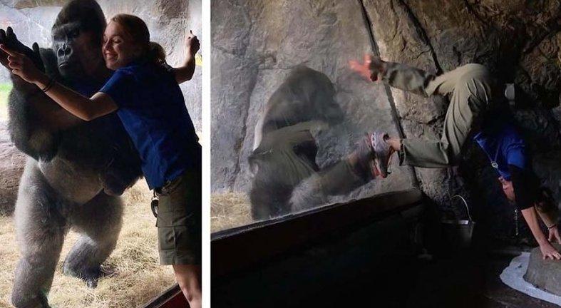 Невероятные кадры, на которых горилла повторяет движения своего кипера горилла, движение, животные, повторюшка, позитив