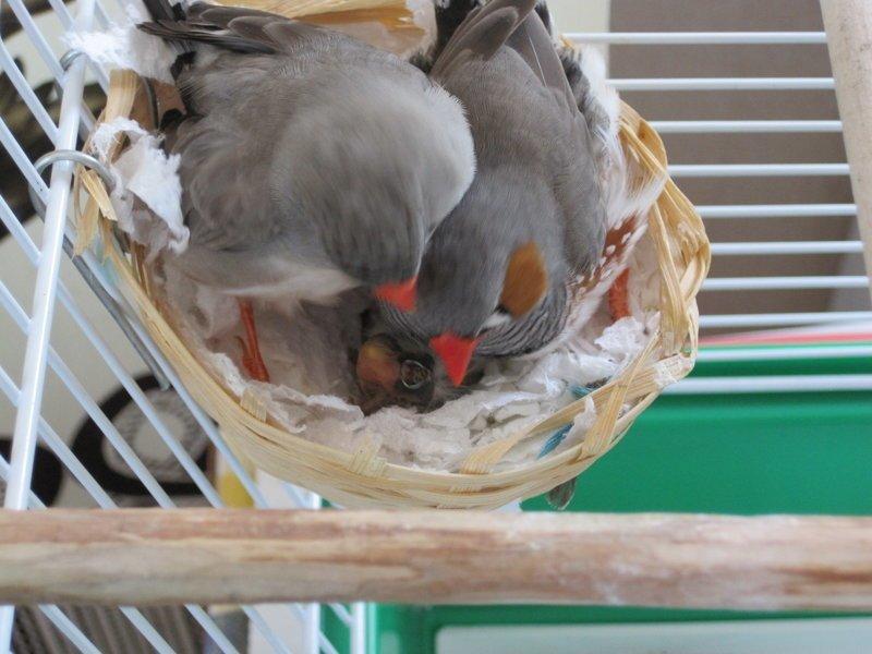 Амадины свили гнездышко амадины, видео, домашние питомцы, птенцы, птички