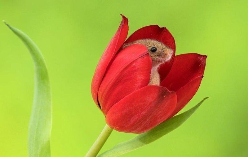 Мимимиметр зашкаливает! Мыши-малютки играют среди цветов животные, мыши, мыши-малютки, мышки и тюльпаны, очаровательно, редкое зрелище, фото, фотограф
