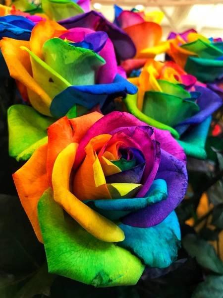 Радужные розы день, животные, кадр, люди, мир, снимок, фото, фотоподборка