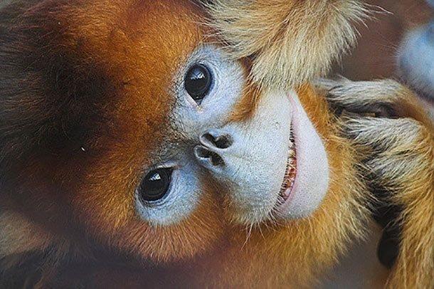 Ринопитеки в мире, внешность, животные, некрасивые, уродцы