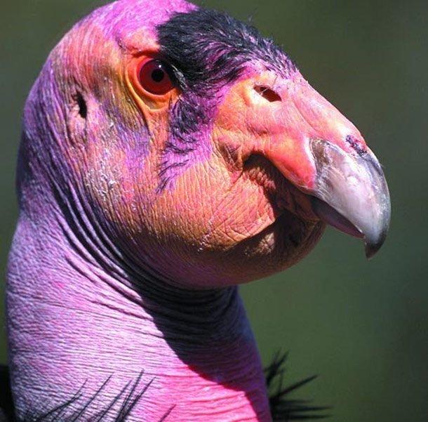 Калифорнийский кондор в мире, внешность, животные, некрасивые, уродцы