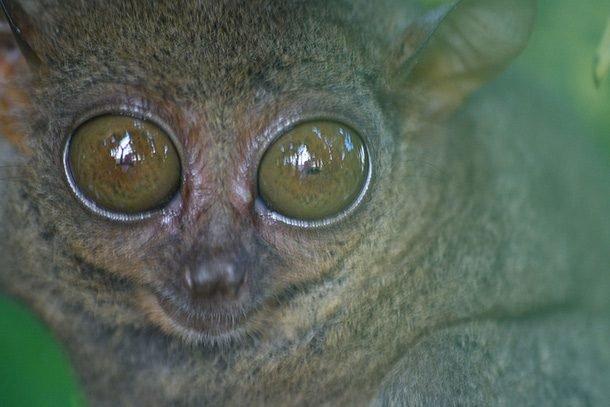 Филиппинский долгопят или сирихта в мире, внешность, животные, некрасивые, уродцы