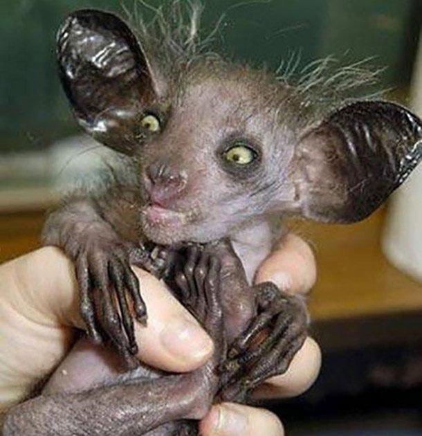 Мадагаскарская руконожка в мире, внешность, животные, некрасивые, уродцы