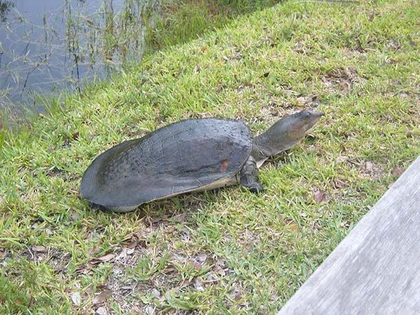 Дальневосточная черепаха или китайский трионикс  в мире, внешность, животные, некрасивые, уродцы