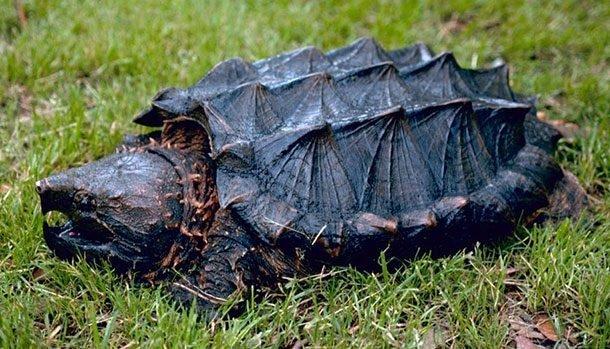 Грифовая черепаха в мире, внешность, животные, некрасивые, уродцы