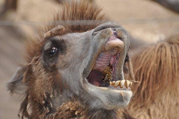 Верблюд в мире, внешность, животные, некрасивые, уродцы