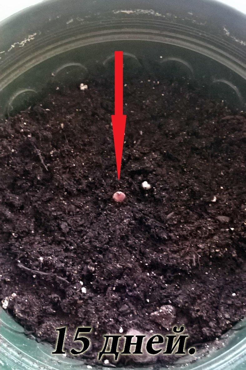 А дальше поливаем и ждем с нетерпением... И только через 2 с лишним недели на поверхности грунта появляется росток. аморфофаллус, домашние растения, растениеводство, тропические растения