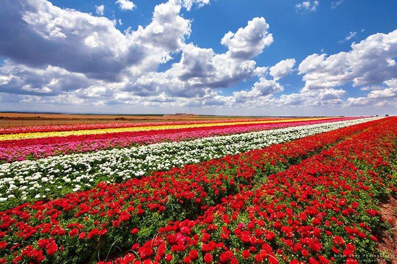 А это не тюльпановые поля в Нидерландах, а поле лютиков на юге Израиля Израиль, красиво, красивые места, природа, страны, страны мира, фото, фотограф