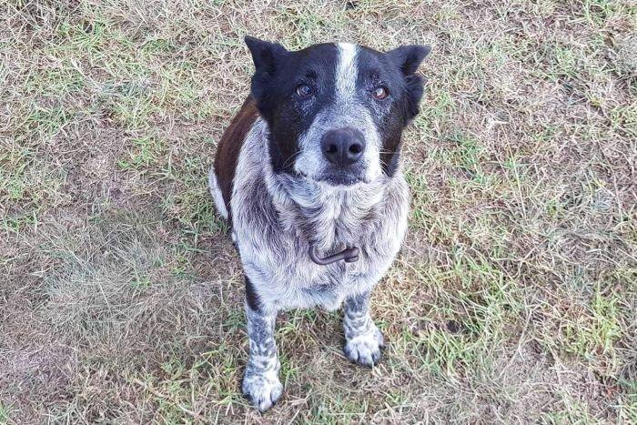 В Австралии старый  пес, 17 часов охранял потерявшуюся 3-летнюю девочку Новотси, дети, добро, доброта, милота, пес, собака
