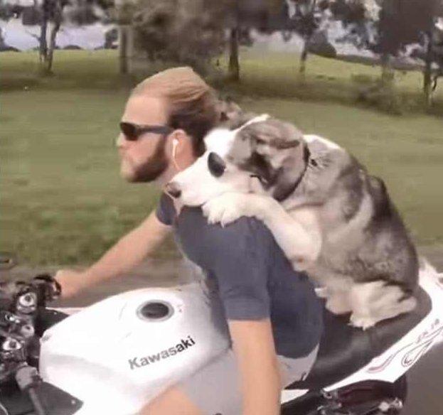 Собака-байкер в очках покоряет Гавайи! беспечный ездок, животные, звери как люди, мотоцикл, пассажир, пес-байкер, собаки, хаски