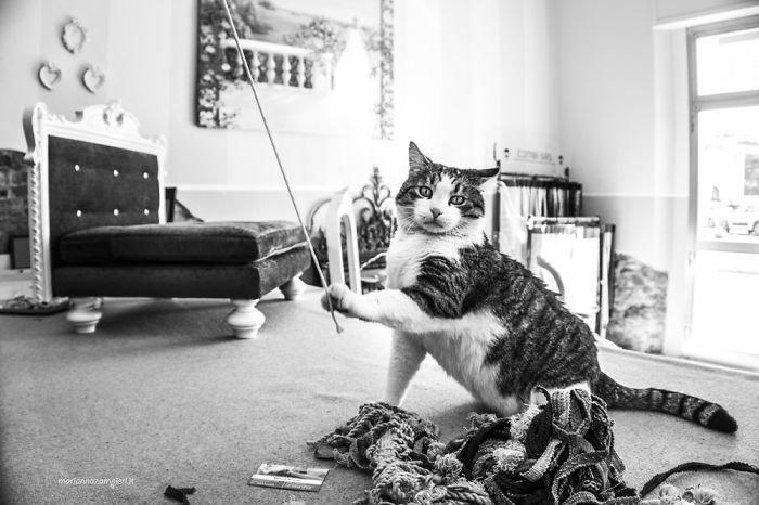 9. Наппо в ателье обивки мебели домашние животные, коты, кошка, кошка в магазине, кошки, фотопроект, черно-белая фотография, черно-белое фото