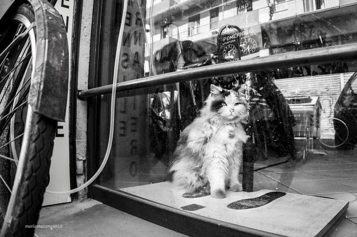 8. Баффо в магазине велосипедов домашние животные, коты, кошка, кошка в магазине, кошки, фотопроект, черно-белая фотография, черно-белое фото
