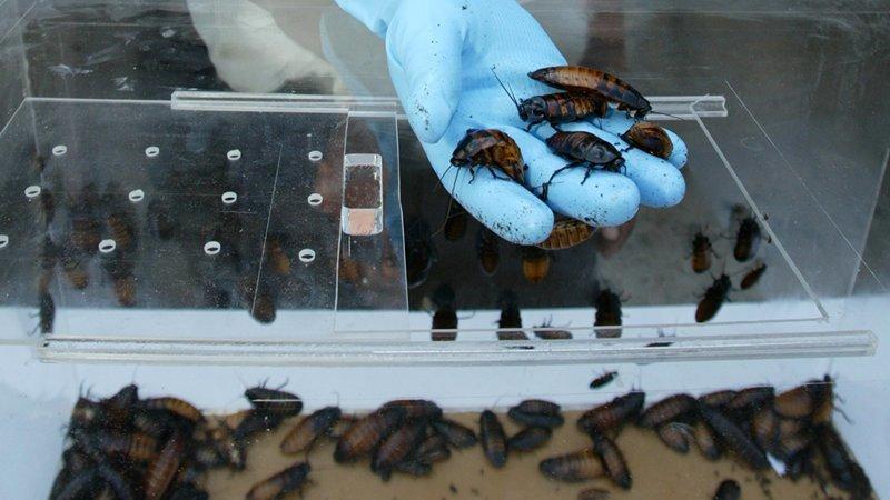 Китай выращивает 6 миллиардов тараканов в год. Зачем? от igor за 26 апреля 2018 наука, новости, тараканы, факты