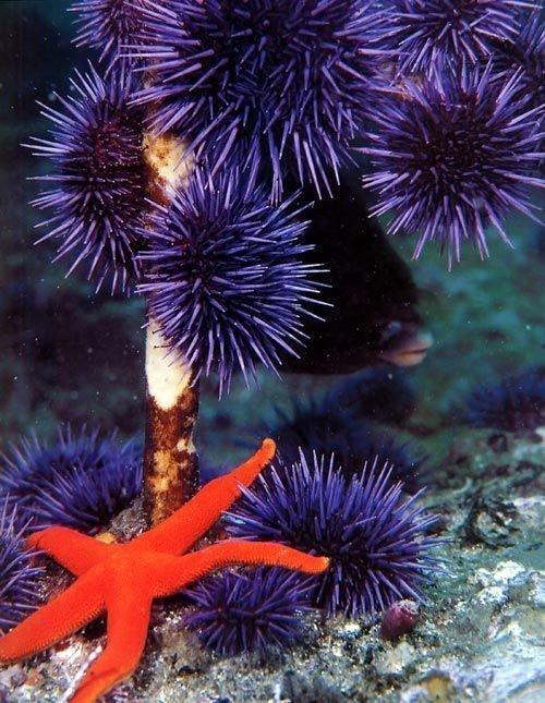Морские ежи животные, интересное, кораллы, красиво, красочно, подводное царство, природа, ярко
