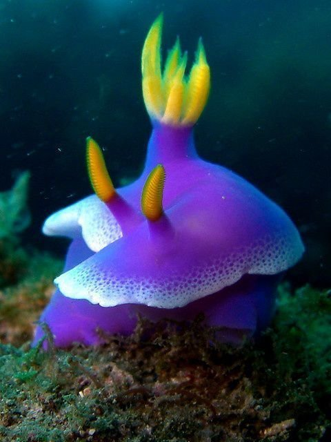 Голожаберными называют большую группу морских брюхоногих моллюсков животные, интересное, кораллы, красиво, красочно, подводное царство, природа, ярко
