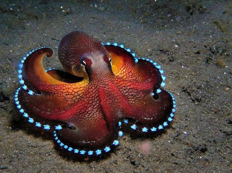 Осьминоги животные, интересное, кораллы, красиво, красочно, подводное царство, природа, ярко