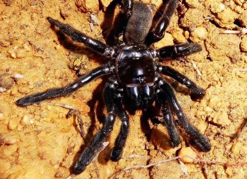 Старейший тарантул в мире отбросил ноги не самым лучшим образом ynews, австралия, наука, новости, пауки, рекордсмен