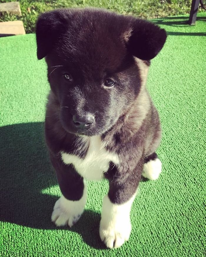 Бэар - щенок американской акиты. Его первая фотография была сделана в 10 недель. акита, до и после, животные, мило, собака, собаки, фото, щенок
