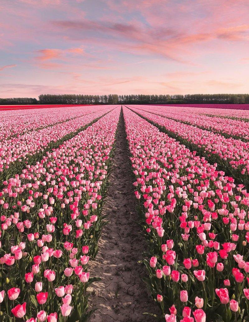 Фотографы посетили поля и сады тюльпанов по всей стране, и были поражены разнообразием и буйством красок. Всего в Нидерландах растет около 1500 сортов тюльпанов. Тюльпаны, голландия, красиво, красивый вид, нидерланды, природа, фото, цветы