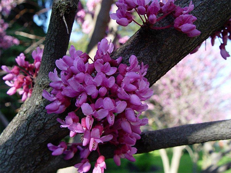 Церцис европейский (он же багряник обыкновенный, иудино дерево) красота, крым, природа, путешествие, растения, репортаж