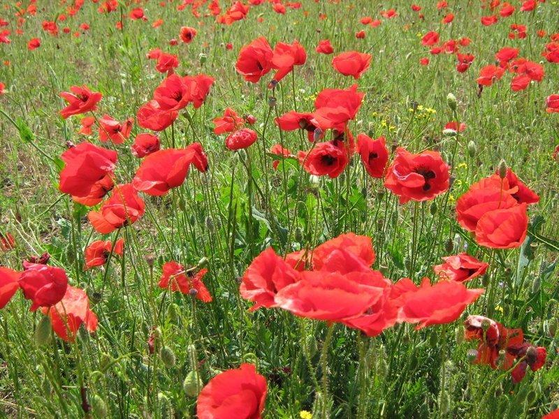 Кое-где уже маковые ковры появляются (ближе к девятому многие поля будут красными полностью) красота, крым, природа, путешествие, растения, репортаж