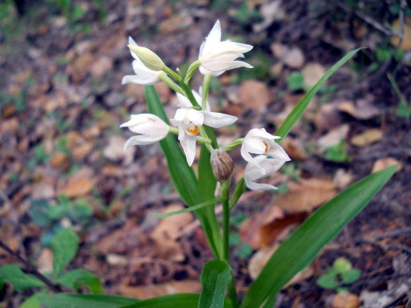 Пыльцеголовник длиннолистный тоже орхидея красота, крым, природа, путешествие, растения, репортаж