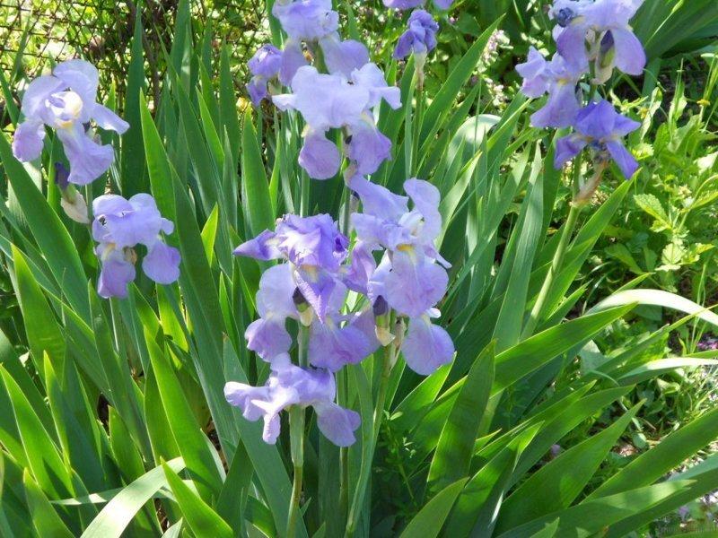 И полные клумбы и огороды ирисов садовых красота, крым, природа, путешествие, растения, репортаж