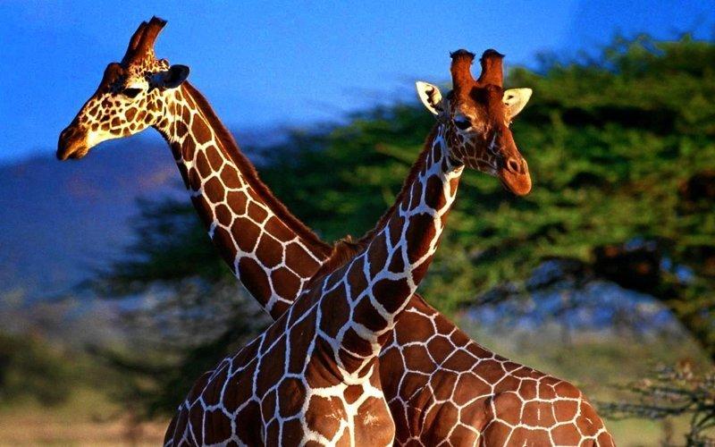 Жирафы гомосексуализм, интересные факты, подборка фактов, традиции, факты