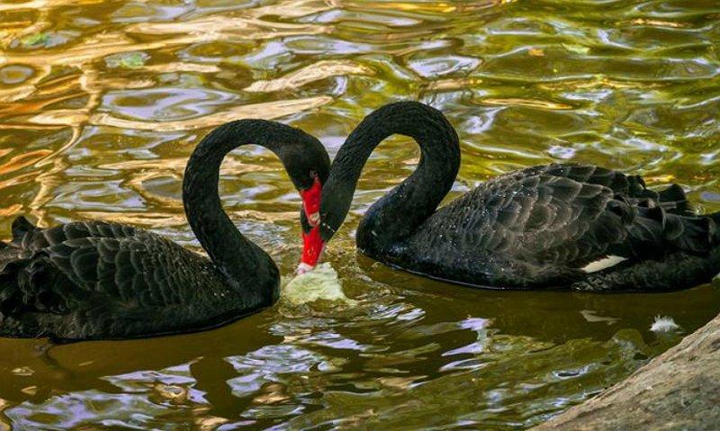 Чёрные лебеди гомосексуализм, интересные факты, подборка фактов, традиции, факты