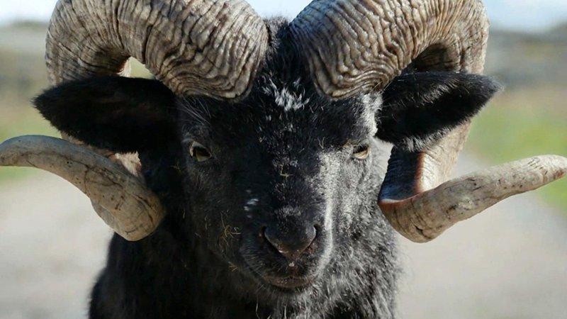 Этого зверя боялись все в нашей деревне баран, деревня, истории, прикол, юмор