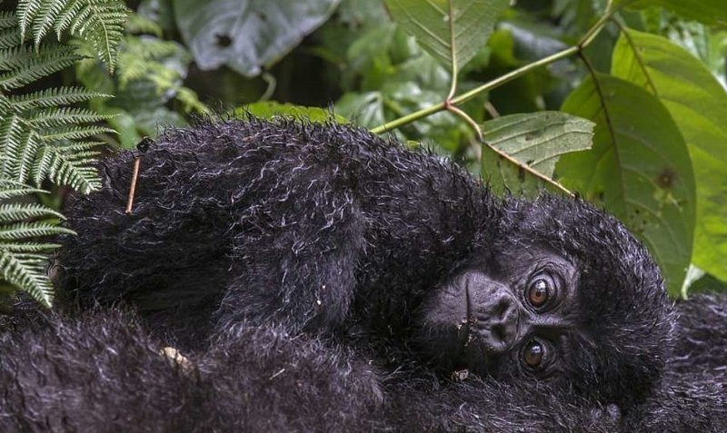 Уникальные съемки очаровательных малюток-горилл горные гориллы, детеныши, дождевой лес, животные, мило, обезьяны, очаровательно, уганда