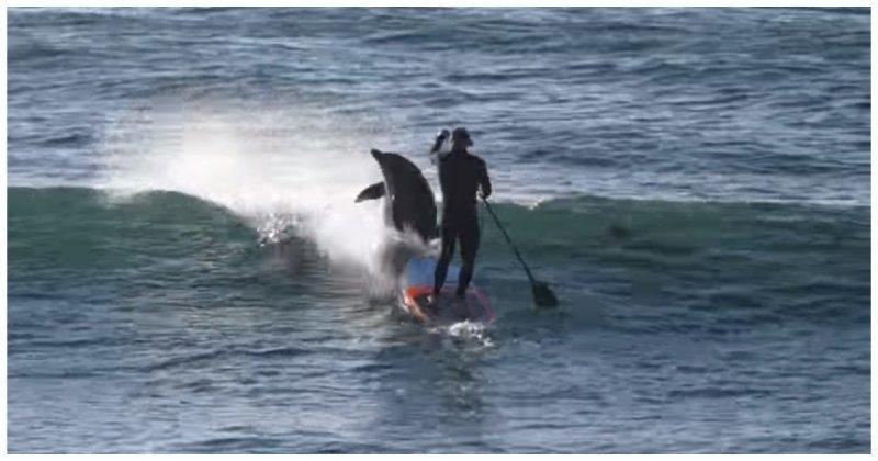 Дельфин увлекся погоней за рыбой и врезался в сапсерфера австралия, видео, дельфин, животные, прикол, сапсерфер, сапсерфинг, серфер, юмор