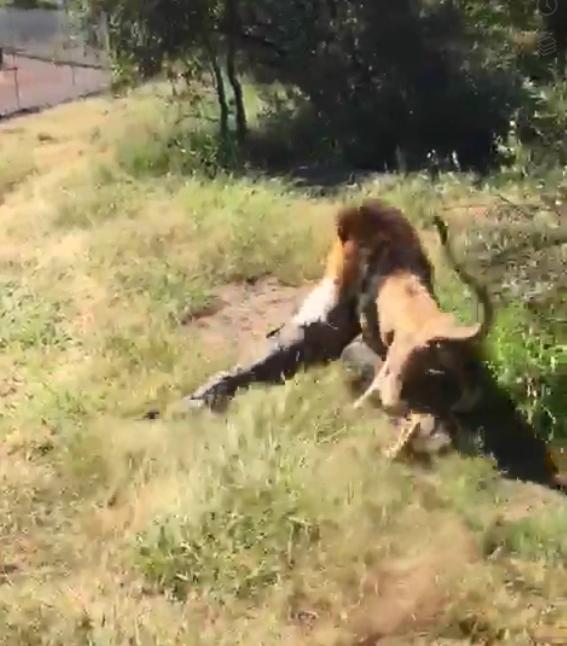 Туристы пытались криками отогнать льва, но все было безуспешно  животные, кадр, лев, нападение, сафари парк, хищник, человек, юар