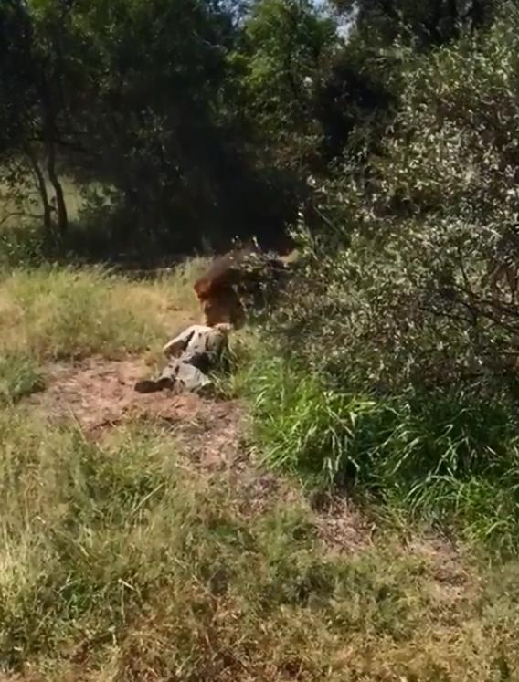 Рейнджер сделал предупреждающий выстрел, но хищник никак не среагировал, поэтому тот был вынужден застрелить его животные, кадр, лев, нападение, сафари парк, хищник, человек, юар