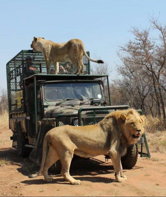 10-летний хищник быстро потерял интерес к сотруднику сафари-парк и бросился к Ходжу  животные, кадр, лев, нападение, сафари парк, хищник, человек, юар