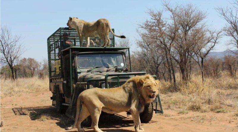 Майк Ходж, владелец частного сафари-парка в Тхабазимби, ЮАР, сам взрастил льва по кличке Шамба  животные, кадр, лев, нападение, сафари парк, хищник, человек, юар