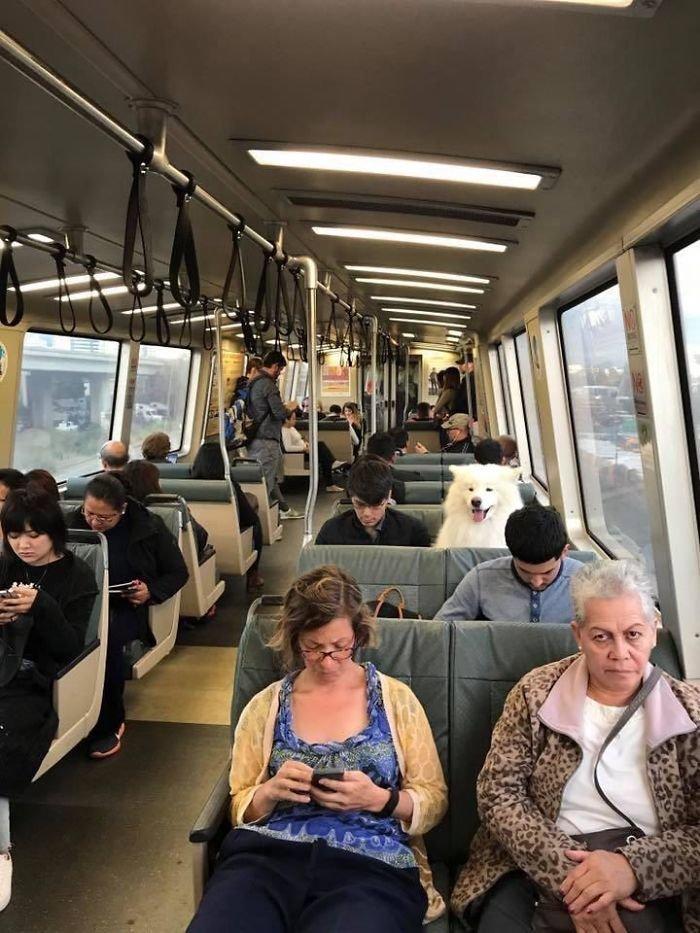 12. В общественном транспорте  Порода, животные, подборка, позитив, самоед, собака, фото